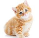 Stai per adottare un gatto? Scopri se l'inserimento del tuo nuovo gatto potrebbe prevedere attenzioni particolari